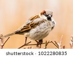 male or female house sparrow or ... | Shutterstock . vector #1022280835