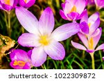 crocus  plural crocuses or... | Shutterstock . vector #1022309872