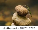 a green stick insect stands... | Shutterstock . vector #1022316202