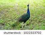 peafowl  peacock  blue and...   Shutterstock . vector #1022323702