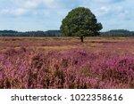 Single Oak Tree In A Dutch...