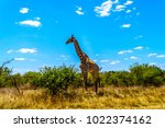 large male giraffe under blue... | Shutterstock . vector #1022374162