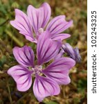 Purple Flowers   Common Mallow...