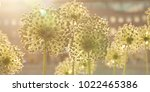 funny flowers allium on a city... | Shutterstock . vector #1022465386