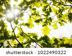 sun shining through oak leafs... | Shutterstock . vector #1022490322