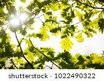 sun shining through oak leafs... | Shutterstock . vector #1022490322