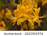 Yellow Rhododendron  Rhodod...