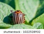 colorado potato beetle eats... | Shutterstock . vector #1022528932
