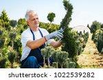 gardener trimming coniferous...   Shutterstock . vector #1022539282