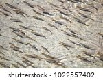 the shadows of minnows swimming ... | Shutterstock . vector #1022557402