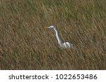 a great egret  ardea alba ...   Shutterstock . vector #1022653486