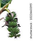 banana bunch on tree isolated...   Shutterstock . vector #1022663395