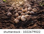 fresh organic potatoes in the... | Shutterstock . vector #1022679022