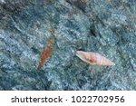 shells on gray stone  the sea... | Shutterstock . vector #1022702956