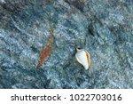 shells on gray stone  the sea... | Shutterstock . vector #1022703016