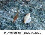 shells on gray stone  the sea... | Shutterstock . vector #1022703022