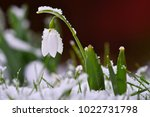 snowdrops spring flowers.... | Shutterstock . vector #1022731798