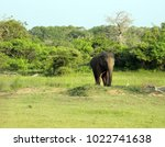 sri lanka  wild elephant in... | Shutterstock . vector #1022741638