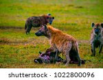 spotted hyena with kill  kenya  ... | Shutterstock . vector #1022800096