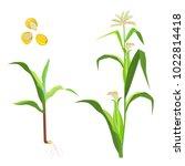 sweet corn flowering plant and... | Shutterstock .eps vector #1022814418