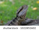 eastern dragon lizard ... | Shutterstock . vector #1022852602