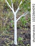 Whitewashing Fruit Tree....