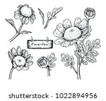 collection feverfew  tanacetum... | Shutterstock .eps vector #1022894956