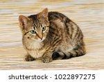Brown Tabby Cat On Mackerel...