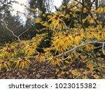 hamamelis japonica flowering... | Shutterstock . vector #1023015382
