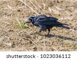 rook bird with seed in beak | Shutterstock . vector #1023036112