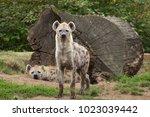 Spotted hyena  crocuta crocuta  ...
