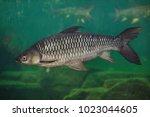 hoven's carp  leptobarbus... | Shutterstock . vector #1023044605