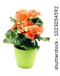 Orange Red Begonia Elatior...