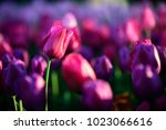 mazing nature concept of pink... | Shutterstock . vector #1023066616