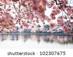 pink cherry blossoms reflecting ... | Shutterstock . vector #102307675
