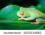 red eyed tree frog  costa rica  ... | Shutterstock . vector #1023114082