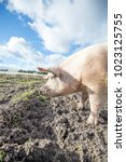 happy pigs on a farm in the uk | Shutterstock . vector #1023125755