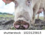happy pigs on a farm in the uk | Shutterstock . vector #1023125815