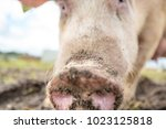 happy pigs on a farm in the uk | Shutterstock . vector #1023125818