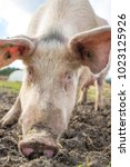 happy pigs on a farm in the uk   Shutterstock . vector #1023125926