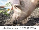 happy pigs on a farm in the uk   Shutterstock . vector #1023125956
