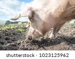 happy pigs on a farm in the uk   Shutterstock . vector #1023125962