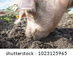 happy pigs on a farm in the uk | Shutterstock . vector #1023125965