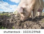happy pigs on a farm in the uk | Shutterstock . vector #1023125968