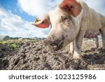 happy pigs on a farm in the uk   Shutterstock . vector #1023125986