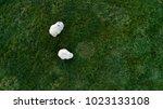 Two Icelandic Sheep Grazing On...