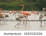 Small photo of A group of juvenile and adults American flamingos Phoenicopterus ruber in the Unare Lagoon Venezuela