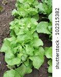 Lettuce on plot - stock photo