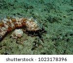 Small photo of Brown spot sea cucumber feeding on sediment