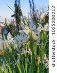 beautiful spanish irises at the ... | Shutterstock . vector #1023200212